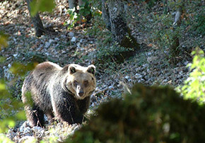 National Park of Abruzzo, bear